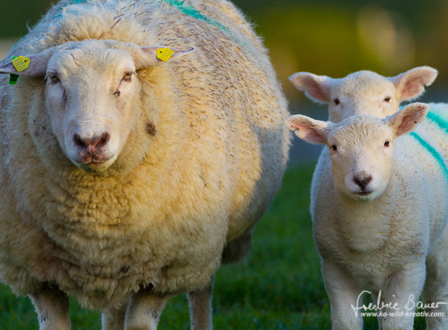 Schafe-132.jpg