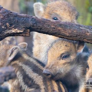 Wildschwein-4474.jpg