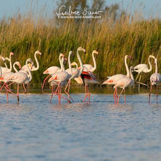 Flamingo-1893-2.jpg