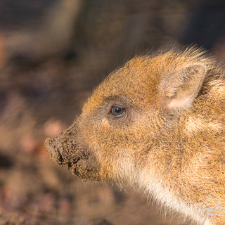 Wildschwein-4571.jpg
