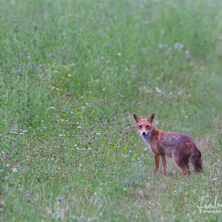 Fuchs-IMG_6704.jpg