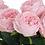 Thumbnail: Large Pink Feel Real Garden Rose