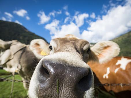 """Anche le mucche hanno la loro """"Miss""""."""