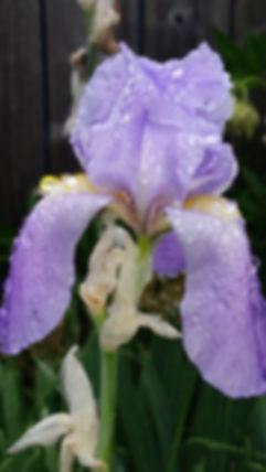 dew drop iris_edited_edited_edited.jpg
