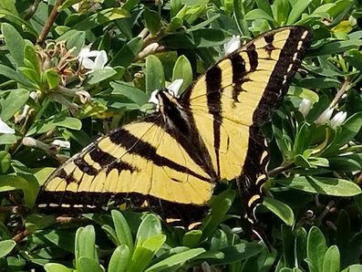 butteryfly.jpg