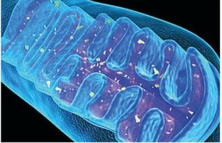 Vos mitochondries sont-elles prêtes pour un nouveau départ ?