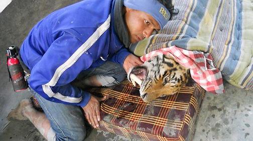 tiger goni_0.jpg