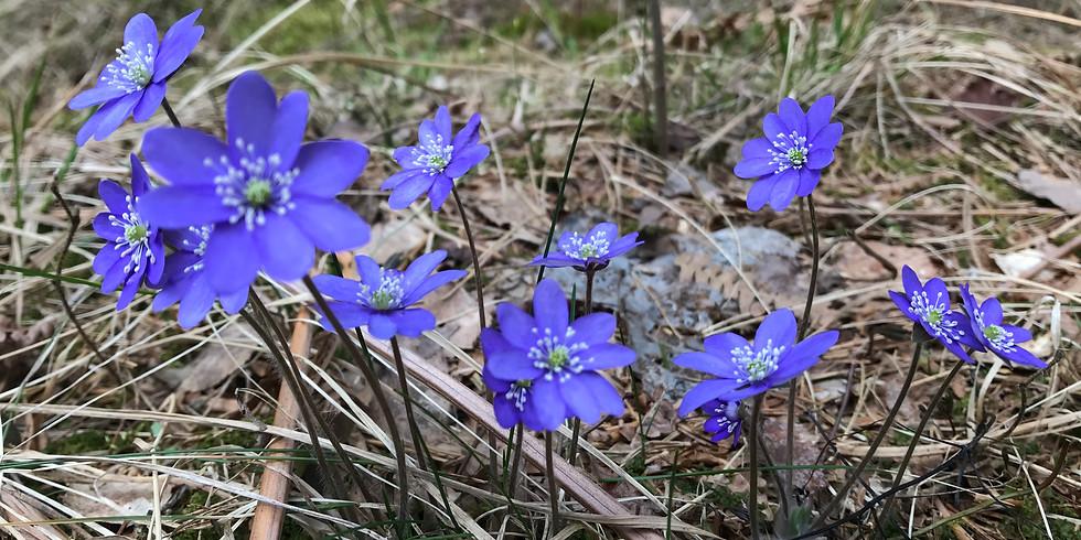 Ekerö, Kärsön: Vårligt skogsbad
