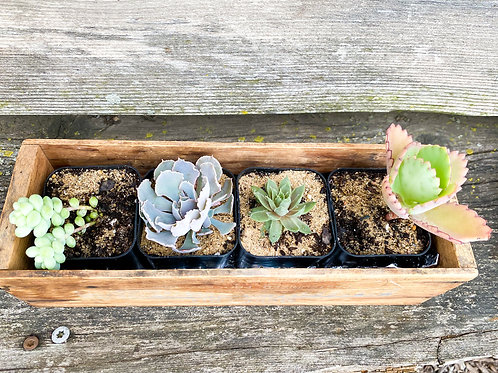 4 Pack - Starter Succulents