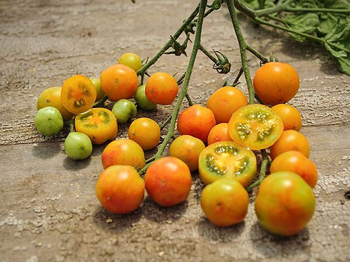 Isis Candy Cherry Tomato Plant Start