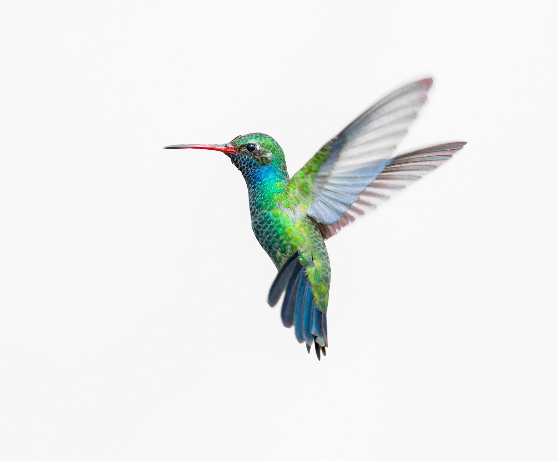 Broad Billed Hummingbird