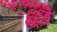 Bougainvillea Flourishes in Palm Springs .jpg