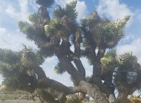 Joshua Trees are Calling from Palm Springs