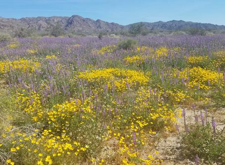 Palm Springs Super Bloom