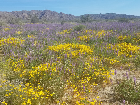 Palm Springs Super Bloom