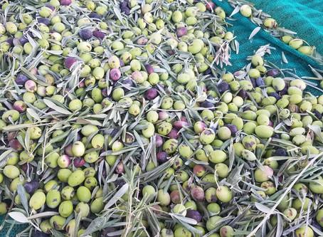 Harvesting Olives at Sunnylands