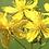 Thumbnail: St John's Wort infused oil