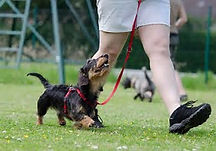 walkingdoxie.jpg
