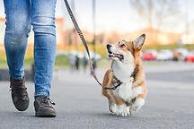 walking corgi.jpg