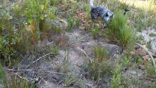 Dragonstones Australian Cattle Dogs, South Africa, Aviation Fuel detection