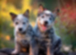 Dragonstones Australian Cattle Dogs, South Africa