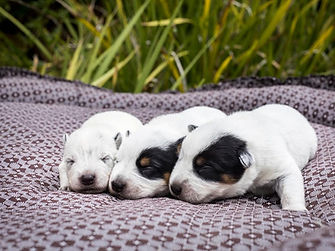 Dragonstones Australian Cattle Dogs, Puppies, South Africa