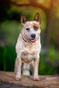 Dragonstones Australian Cattle Dogs, South Africa