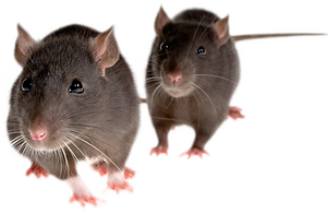 png-mice-mouse-rat-png-image-444.png