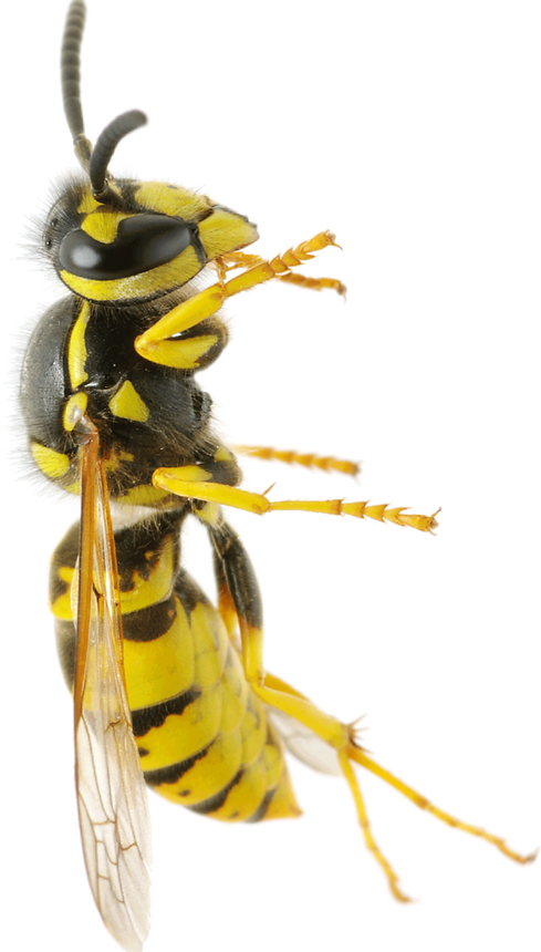 wasp_PNG30_edited.png