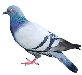 pigeon_PNG3419.png