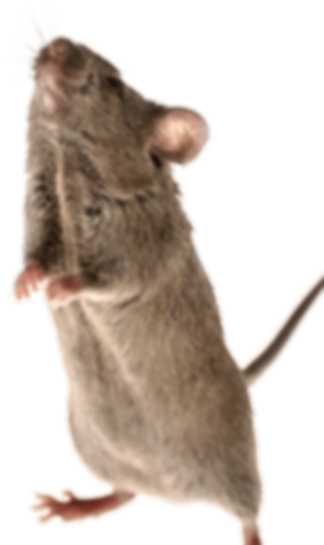 cute-standing-mouse_edited_edited.png