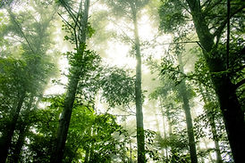 A foggy forest of tall trees