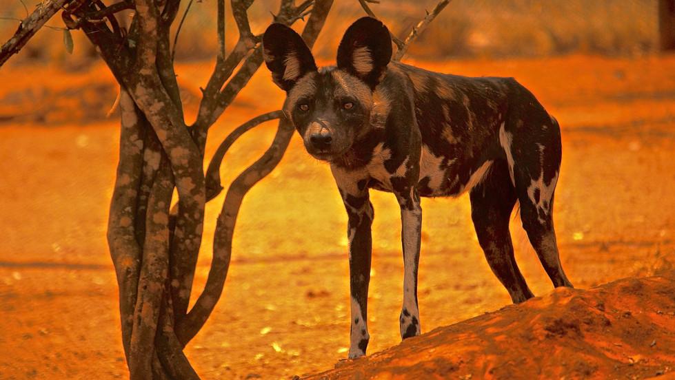 WILD DOG #1