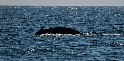 Спина Горбатого кита