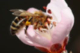 1200px-Bee_pollinating_peach_flower.jpg