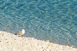 vis-beach-pebble-pigeon