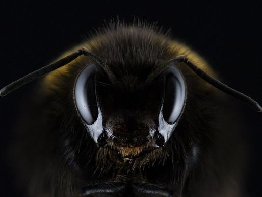Et si l'abeille avait prévenu l'homme pour le covid-19 ?