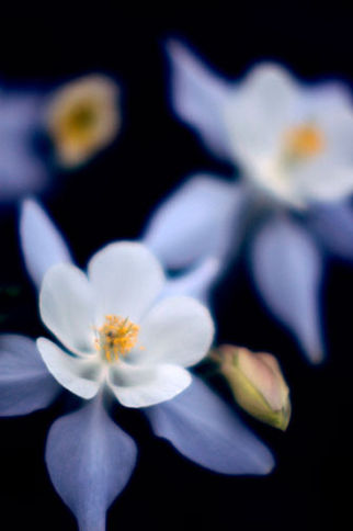 Mark_Anthony_King_Columbine_in_Blue_phot