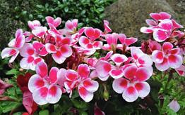 天竺葵 | 排毒潔淨 去水腫的美顏法寶