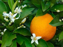 橙花 | 治癒心靈的貴族香氣