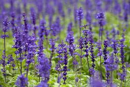 快樂鼠尾草 | 女士調理身心靈的紫水晶