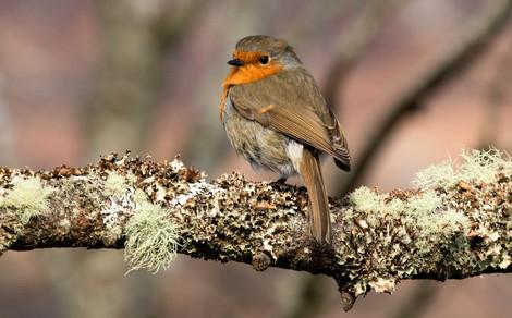 Highland Robin