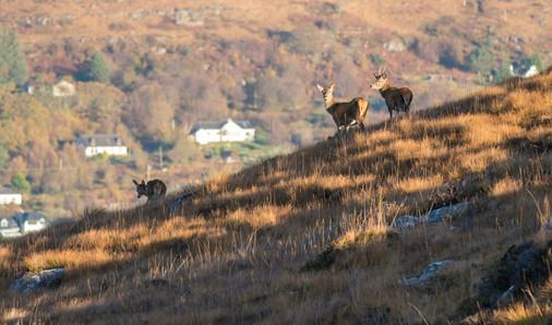 Deer in the Highlands