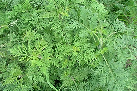 How do I kill Annual Ragweed naturally?