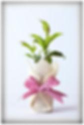 Plant Bomboniere