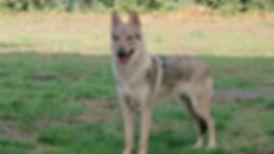 Chechoslovakian Wolfdog - Valu
