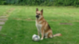 Gypsy on lawn with ball