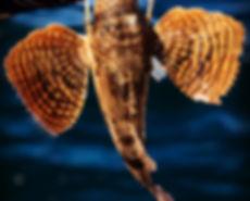 Sea robin fishing Wilmington and Wrigtsville Beach NC