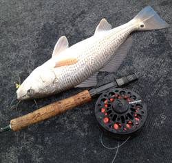 Red drum on fly, alb Minnow.