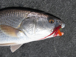 Drum on a red minnow fly.